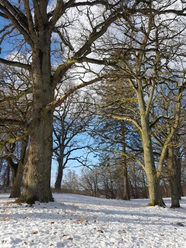 egetræer i snelandskab